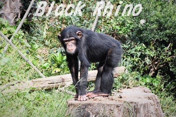 ニシチンパンジー リョウマ06 日立市かみね動物園
