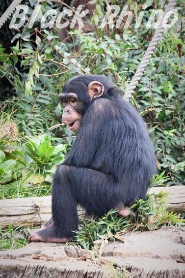 ニシチンパンジー リョウマ07 日立市かみね動物園