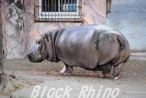 カバ チャポン04 日立市かみね動物園