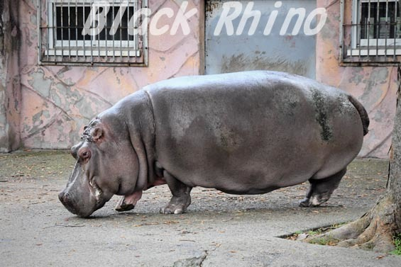カバ チャポン05 日立市かみね動物園