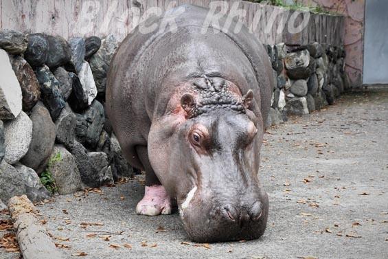 カバ チャポン06 日立市かみね動物園