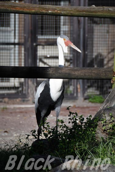 ホオカザリヅル01 羽村市動物公園