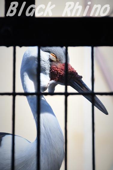 ホオカザリヅル02 羽村市動物公園