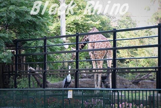 ホオカザリヅル03 羽村市動物公園