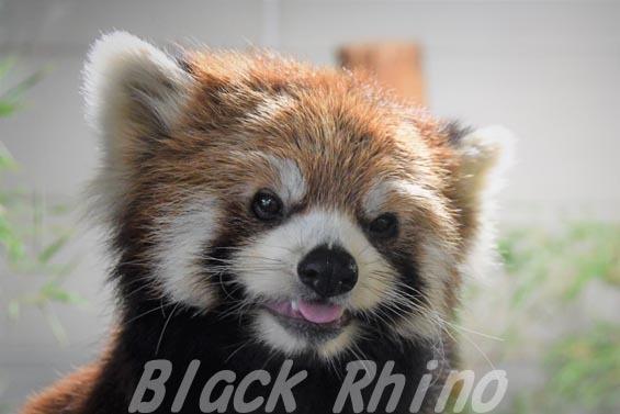シセンレッサーパンダ01 羽村市動物公園