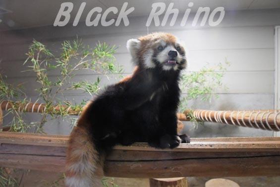 シセンレッサーパンダ02 羽村市動物公園