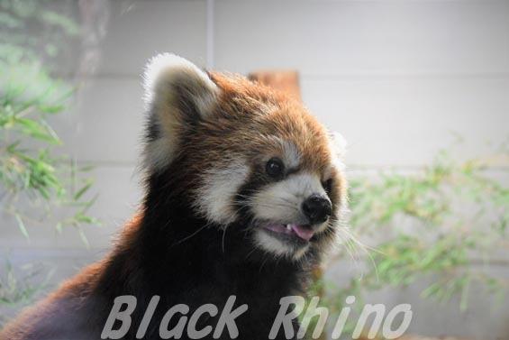 シセンレッサーパンダ04 羽村市動物公園
