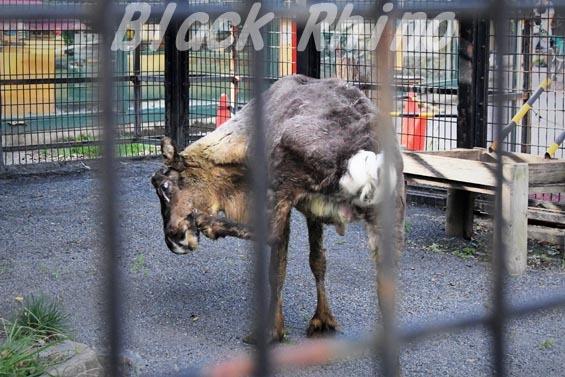 トナカイ03 羽村市動物公園