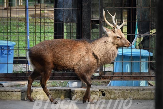 ヤクシカ01 羽村市動物公園