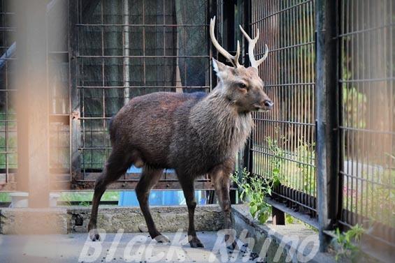 ヤクシカ02 羽村市動物公園