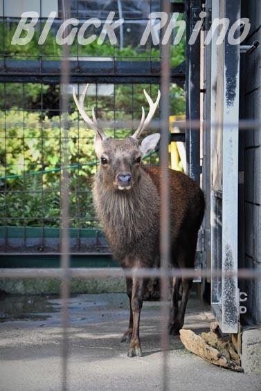 ヤクシカ03 羽村市動物公園