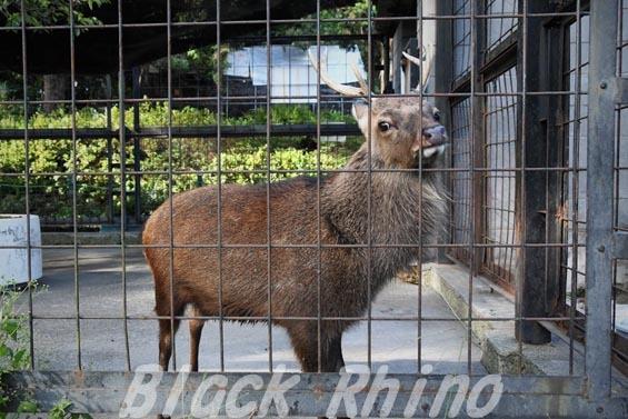 ヤクシカ04 羽村市動物公園