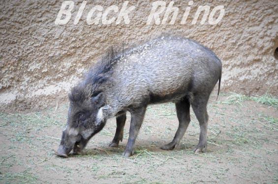 Visayan warty pig 01 ロサンゼルス動物園