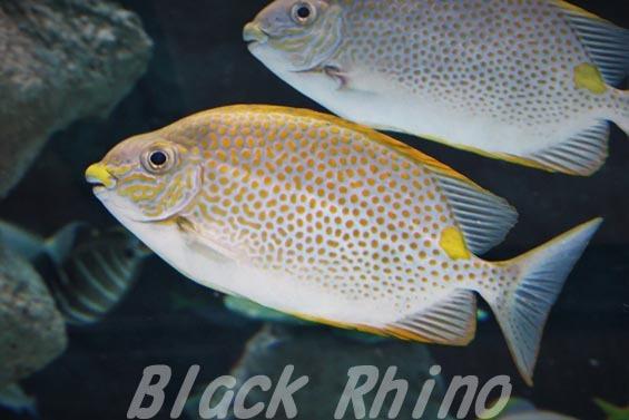 ゴマアイゴ01 名古屋港水族館