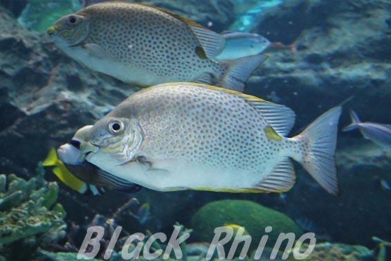 ゴマアイゴ02 名古屋港水族館