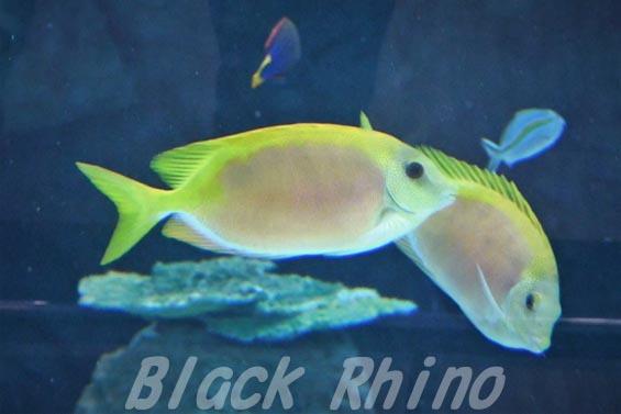 サンゴアイゴ01 名古屋港水族館