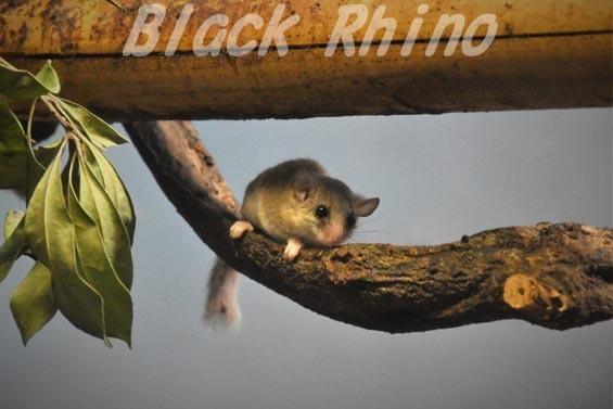 アフリカヤマネ01 豊橋総合動植物公園