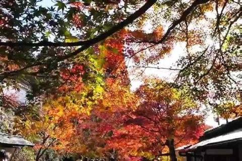 三千院の紅葉8