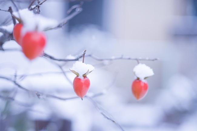 柿(盆栽)