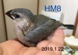 HM8 生後27日目