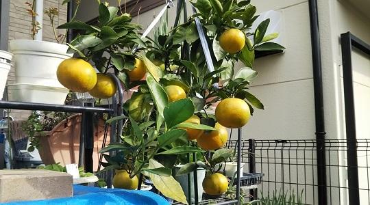 プランタ―栽培のミカンの木