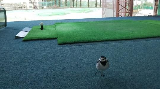 Golf練習場の住民