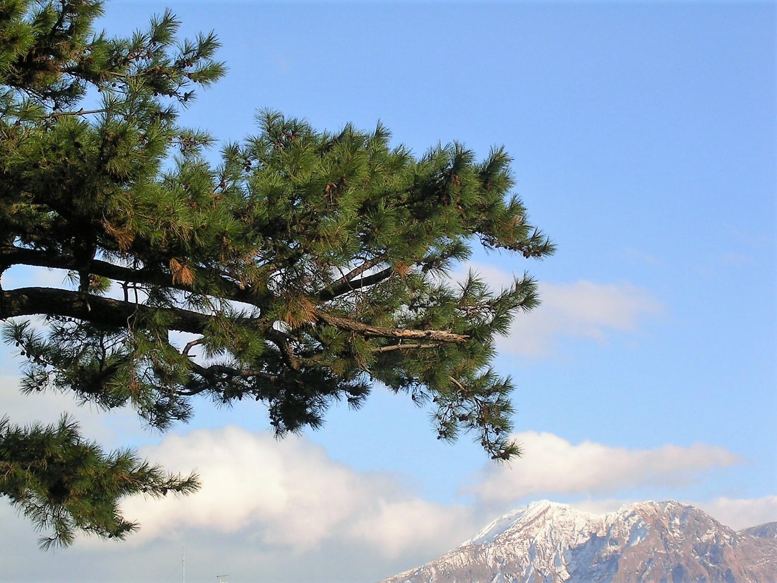 赤松と冠雪の桜島