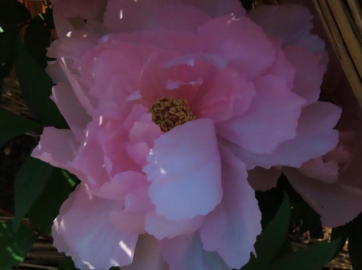 ピンクの牡丹-292