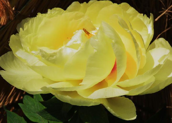 黄冠-285