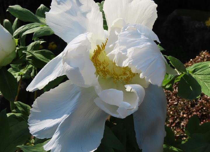 白牡丹-335