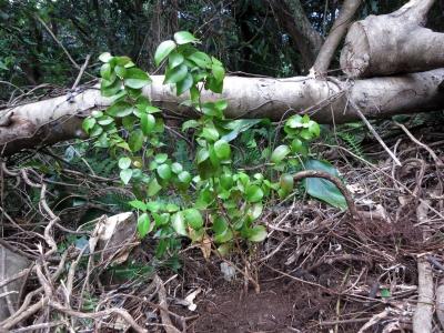 181014-41=ピタンガの苗植え a庵果樹園