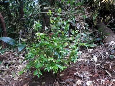 181014-44=ジャボチカバの苗植え a庵果樹園