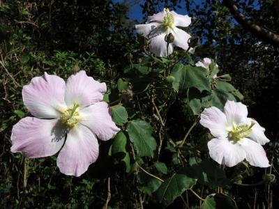 181023-22=サキシマフヨウの花 a庵下県道