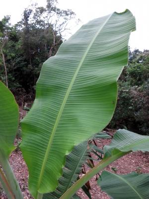 181103-12=バナナの葉 a庵果樹園