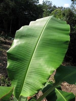 181105-41=バナナの葉 a庵果樹園