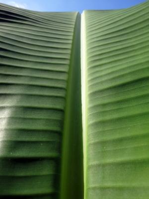 181105-42=バナナの葉(部分寄り) a庵果樹園