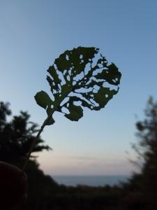 181124-11=ハツカダイコンの虫喰い葉 aPBR