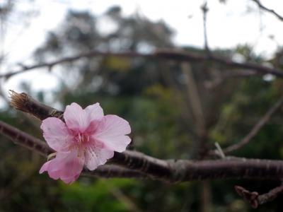 190104-13=狂い咲きサクラ aONA温泉駐車場