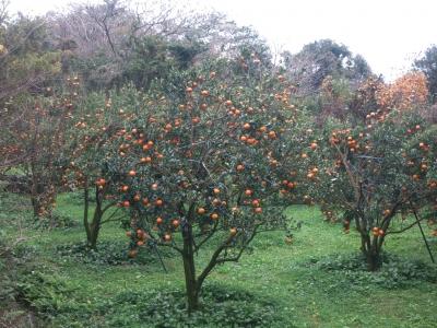 190117-2=たわわに実るタンカンの樹 aONA温泉通り沿い果樹園