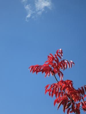 190126-11=ハゼノキ紅葉と青空 a旧丸周前