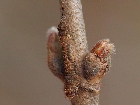 アシベニカギバ幼虫2