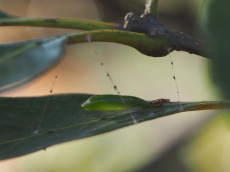 ウスキヒメアオシャク蛹か
