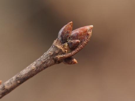 キバラヒメアオシャク幼虫か