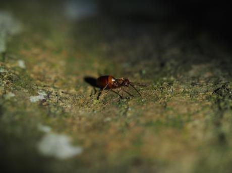 タマバチの一種