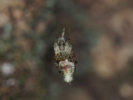 キジロゴミグモ3