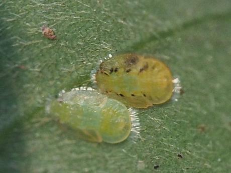 カシトガリキジラミ幼虫か