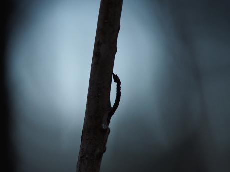 ヒロバツバメアオシャク幼虫死骸か