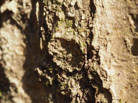 キノボリトタテグモ巣