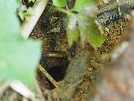 クロナガアリ