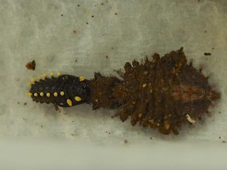 ツノトンボ幼虫&ハムシ幼虫2